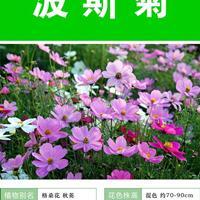 江苏緑康态种业 波斯菊种子的 播种方法