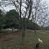供应精品樱花染井吉野24公分/25公分/26公分/27公分