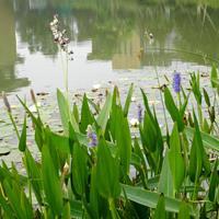 做一流水环境处理服务企业 供应再力花、水生鸢尾、红蓼、狼尾草