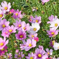 供应波斯菊杯苗、波斯菊种子.各类花卉种子苗木种子草籽