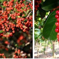 五味子形态特征,种子绿康态有