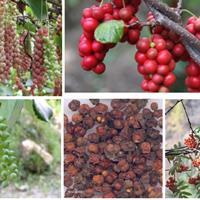 五味子栽培技术,种子在绿康态,100一斤