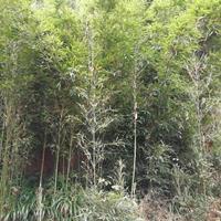 四川乐山市绿科园艺场常年快乐赛车开奖2~3公分苦竹