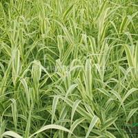 做一流水环境处理服务企业 供应湿生植物:金叶芦苇、花叶香蒲