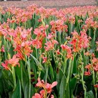 供应湿生植物:水生美人蕉、藨草