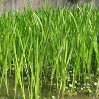 做一流水環境處理服務企業 供應濕生植物:苦草、金魚藻、狐尾藻