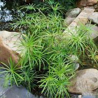 做一流水环境处理服务企业 供应湿生水竹 芋、 紫芋、玉婵花.