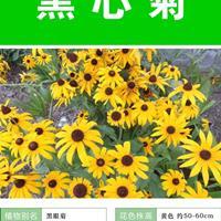 黑心菊杯苗、黑心菊種子.各類花卉種子苗木種子草籽