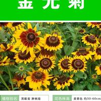金光菊杯苗、金光菊种子.各类花卉种子快乐赛车玩法种子草籽