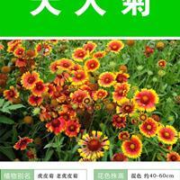 天人菊杯苗、天人菊種子.各類花卉種子苗木種子草籽