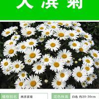 大滨菊杯苗、大滨菊种子.各类花卉种子苗木种子草籽