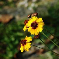 蛇目菊的繁殖方法  常年供应蛇目菊种子  种苗