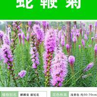 供应蛇鞭菊杯苗、蛇鞭菊种子.各类花卉种子苗木种子草籽
