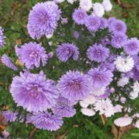 供应翠菊杯苗、翠菊种子.各类花卉种子苗木种子草籽