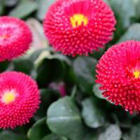 翠菊的生长习性   常年供应各类花卉种子苗木种子草籽