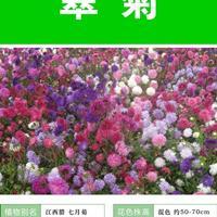 翠菊的主要价值  常年供应各类花卉种子苗木种子草籽
