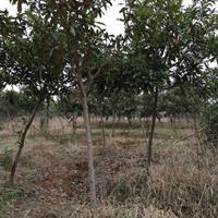 華中地區5到20公分枇杷樹價格 合肥枇杷樹價格便宜處理 枇杷