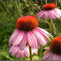 松果菊都有什么價值  常年供應草花種子苗木種子草籽