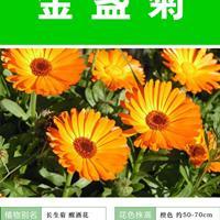 供应金盏菊杯苗、金盏菊种子.各类花卉种子苗木种子草籽