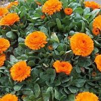 金盏菊有 什么价值   常年供应草花种子苗木种子草籽