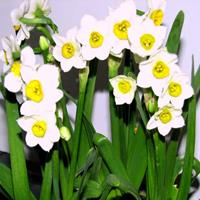 水仙花的主要病虫害有哪些?怎样防治?