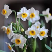 怎样繁殖水仙花?      江苏绿康态常年供应各品种进口种球
