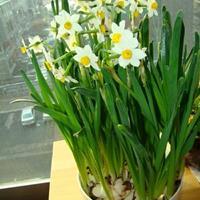 怎样延长水仙的花期(水仙种植技术)