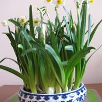 开过花的水仙鳞茎还可以栽种吗?