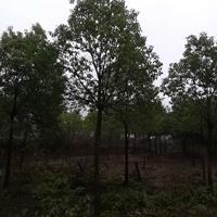 安徽香樟报价便宜 那里有便宜的香樟树 大规格香樟行情走势