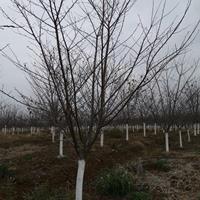 安徽樱花精品培育 合肥樱花标准化生产质量好价格便宜