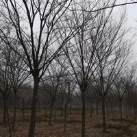 安徽櫸樹價格 紅軍行情走勢 今年紅櫸報價
