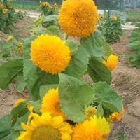 玩具熊向日葵种子     各类花卉种子苗木种子草籽