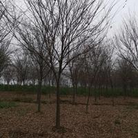 櫸樹價格 優質櫸樹批發 安徽櫸樹價格便宜 合肥紅櫸樹價格便宜