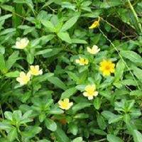 供应黄花水龙、水雍、水浮莲、芡实、鹿角蕨
