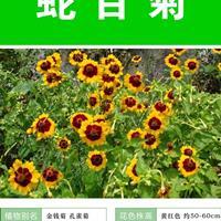 供应蛇目菊杯苗、蛇目菊种子.各类花卉种子苗木种子草籽