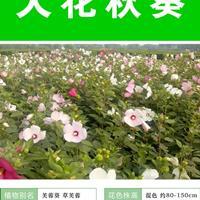 常年供應草花種子苗木種子草籽   大花秋葵種子