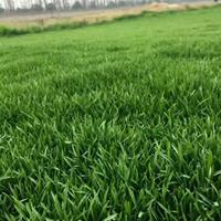 日本结缕草大量供应