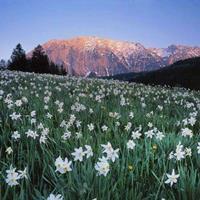 怎样才能养好水仙花?    江苏绿康态常年供应各品种进口种球