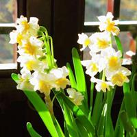 如何让水仙花在春节开放
