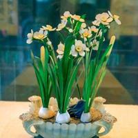 水养水仙花的方法 【水仙栽培技术找江苏绿康态】