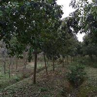 安徽香樟樹價格便宜 精品香樟批發 優質的香樟出售 今年香樟行