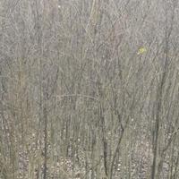 安徽榔榆多 买榔榆树去合肥 专业榔榆培育基地 大小规格榔榆