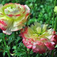 花毛茛的养殖方法和注意事项【花毛茛种植 栽培】