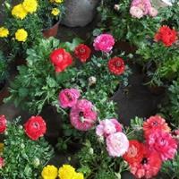 盆栽花毛茛应该如何施肥【种植 栽培】