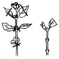 【芍药种植】芍药的扦插方法