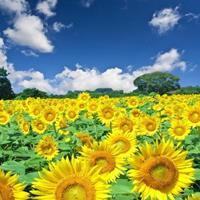 常年供应草花种子苗木种子草籽   观赏向日葵种子