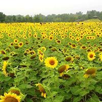 观赏向日葵有什么种植要点?常年供应草花种子苗木种子草籽