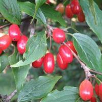 山茱萸生理特性,需要种子请联系绿康态