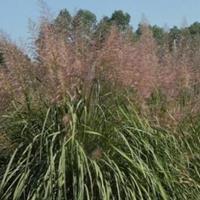 供应斑茅、斑叶草、斑叶兰
