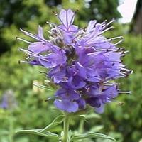 神香草的用途   常年供应花草苗木种子草籽